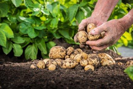 Kartoffeln selber anbauen